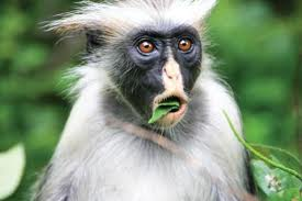 Kirk's Red Colobus aap